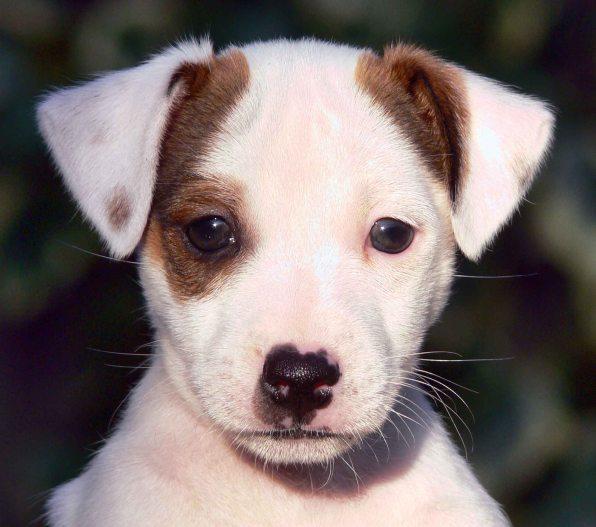 Jack_Russell_Terrier_Puppy_-_Eddi