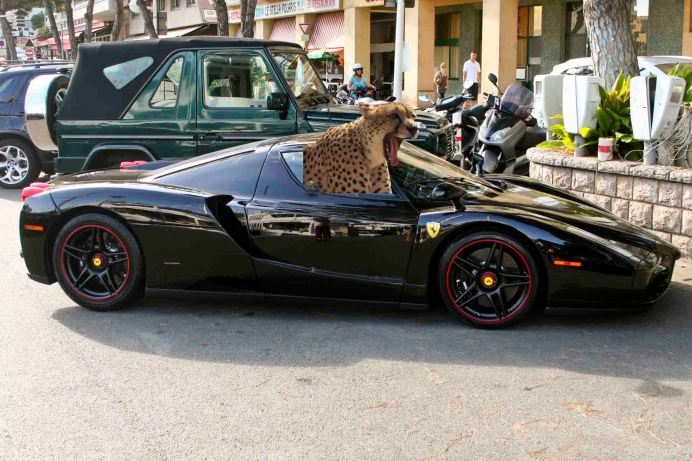 Cheetah In A Car
