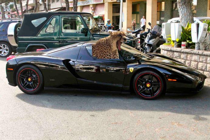 Cheetah In A Car